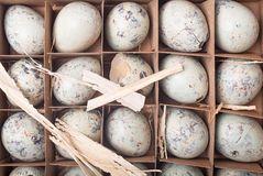 Many quail eggs in a cardboard packaging. Easter greeting card. Happy Easter. Space for text stock images