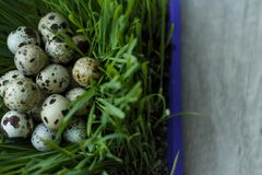 Many quail eggs lay in green sprouted wheat germs. Quail eggs in the grass Royalty Free Stock Photo