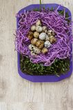 Quail eggs. Many quail eggs lie on the violet decor in the form of a nest, on the green grass that grows in the ground on a tray standing on a table Stock Photos