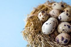 Many quail eggs in a nest of straw on a blue background royalty free stock photo
