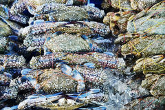 Many raw blue manna crab Stock Photography