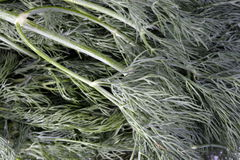 Many raw green dill Royalty Free Stock Photography