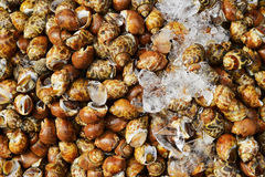 Many raw Spotted babylon snail with freeze Stock Photos