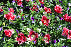 Many red beautiful tulips Stock Photo