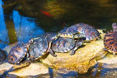 Turtles sit in stone in the park stock images