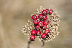 Many red berries during autumn in a composition stock photography