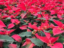 Field red Poinsettia flowers. Many red Christmas poinsettia flowering plants. Blooming flowers royalty free stock photography