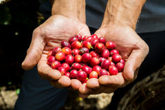 Many red coffee cherries. In the hands Royalty Free Stock Images
