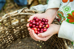 Many red coffee cherries. In the hands Stock Photos