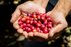 Many red coffee cherries. In the hands Royalty Free Stock Photo