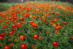 Many red Cosmos flowers are blooming in full space. Stock Photography