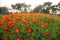 Many red Cosmos flowers are blooming in full space. Royalty Free Stock Images