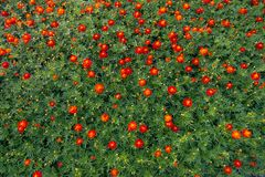 Many red Cosmos flowers are blooming in full space. Royalty Free Stock Image
