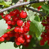 Many red currant berries close up in green bush Stock Photos