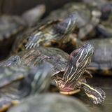 Many red eared slider turtles. Sitting on rock Royalty Free Stock Image