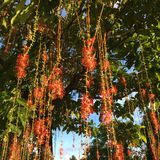 Many red flowers. Many red flowers on the tree in the park Royalty Free Stock Images