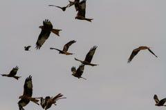Many red kites or milvus milvus Royalty Free Stock Photography