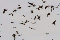 Many red kites or milvus milvus Stock Photo