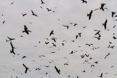 Many red kites or milvus milvus Stock Photography