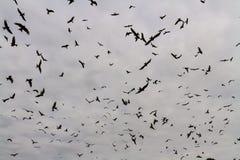 Many red kites or milvus milvus Royalty Free Stock Photo
