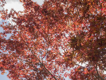 Many red leaf on the tree with backlight. At morning Stock Images