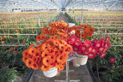 Many red and orange flowers in dutch greenhouse Royalty Free Stock Photography