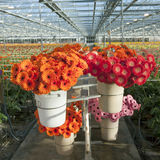 Many red and orange flowers in dutch greenhouse Royalty Free Stock Photos