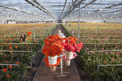 Many red and orange flowers in dutch greenhouse Stock Photos