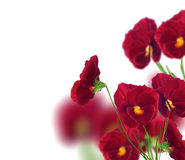 Many red pansy flowers isolated on white Royalty Free Stock Image