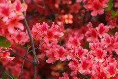 Many red plum blossoms and green leaves royalty free stock photography