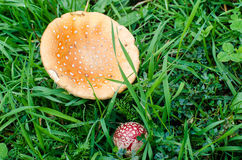 Many red poisonous mushrooms on the ground in the grass. Stock Images