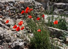Many red poppies on stone background. Royalty Free Stock Image