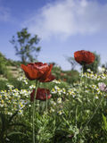 Many red poppy flowers with field of Chrysanthemum, blue sky Stock Photos