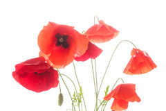 Many red poppy flowers Royalty Free Stock Photo