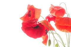 Many red poppy flowers Stock Photography
