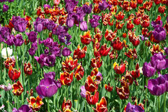 Many red and purple tulips Stock Photos