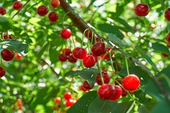 Many red ripe cherries growing on the tree Royalty Free Stock Image