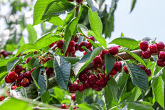 Many red ripe cherries Royalty Free Stock Images