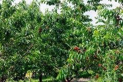 Many red ripe cherries Royalty Free Stock Photo