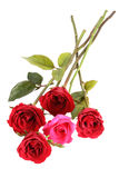 Many red roses Royalty Free Stock Photo