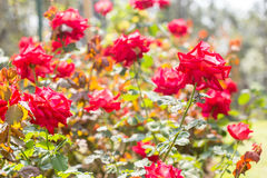 Many Red Roses Royalty Free Stock Photos