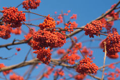 Many Red Rowan berries bunchs on tree branch. On blue sky Stock Photography