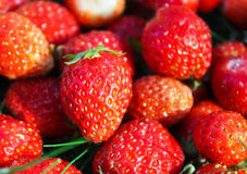 Many strawberries. Many red strawberries in garden royalty free stock images
