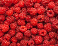 Many red succulent raspberries backgrounds. Grainy surface royalty free stock images