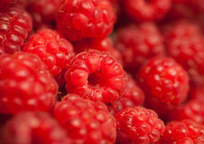 Many red succulent raspberries backgrounds. With selective focus royalty free stock photo