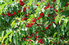 Many red sweet ripe cherry berries. In leafage on tree branches Stock Image