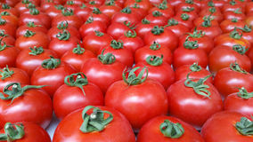 Many red tomatoes Royalty Free Stock Images