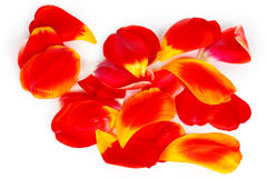 Many red tulip petals. On a white background Royalty Free Stock Image
