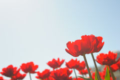 Many red tulips Stock Photography