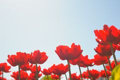 Many red tulips Stock Images